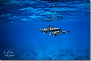 two dolphins swimming underwater