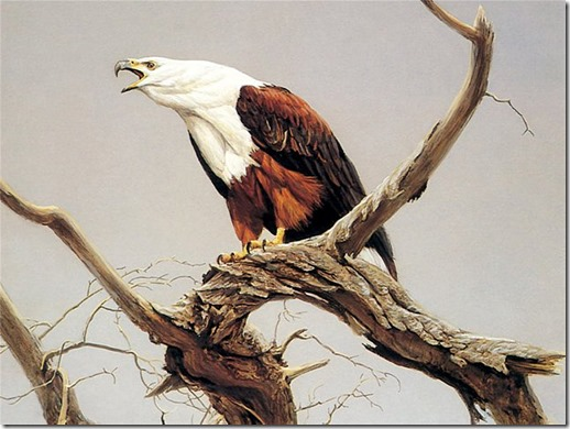 African Fish Eagle (detail)